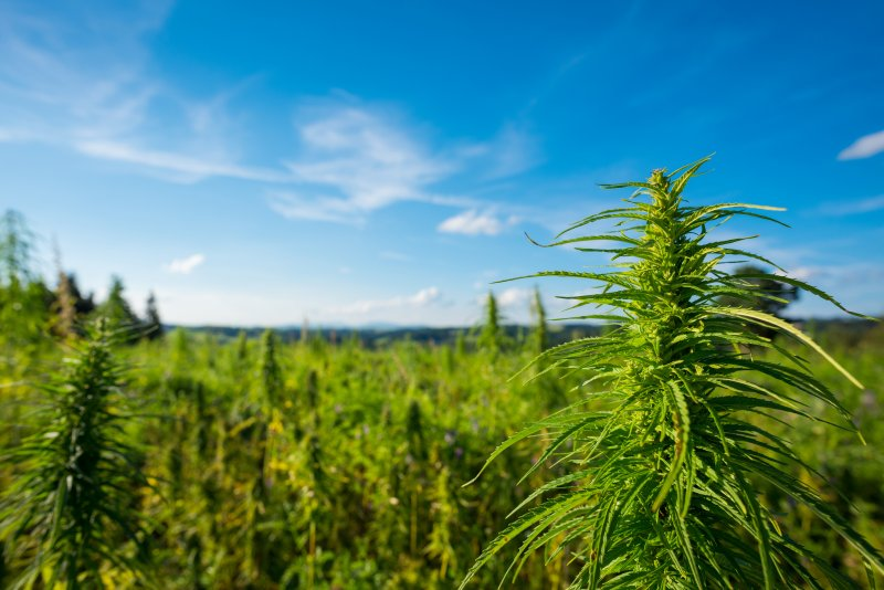 No, CBD oil is not made from industrial hemp, and stop