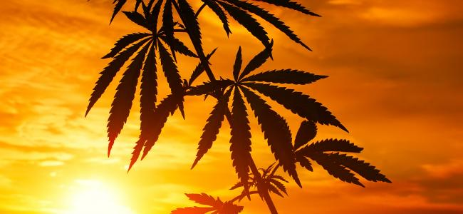 An image of a cannabis plant with a setting sun and orange sky behind it is shown.