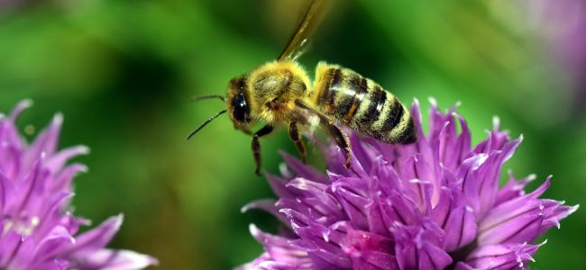Hemp might help the world's declining bee populations, new study shows