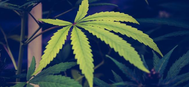 An image of a greenish-yellow cannabis leaf surround by dark green cannabis plants is shown.