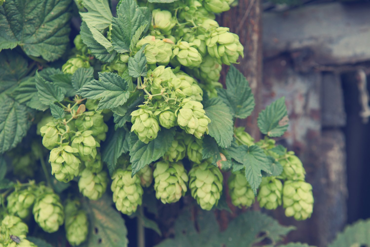 isodiol derives cbd from hops instead of cannabis