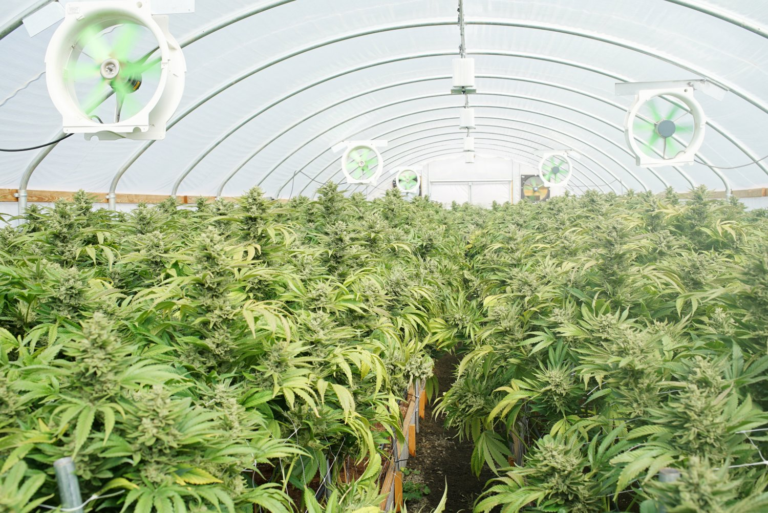 marijuana laws restrict the growth and use The laws are different for medical marijuana users marijuana plants must be kept in an enclosed, locked area that can't be viewed openly this means the plants can't be outside.