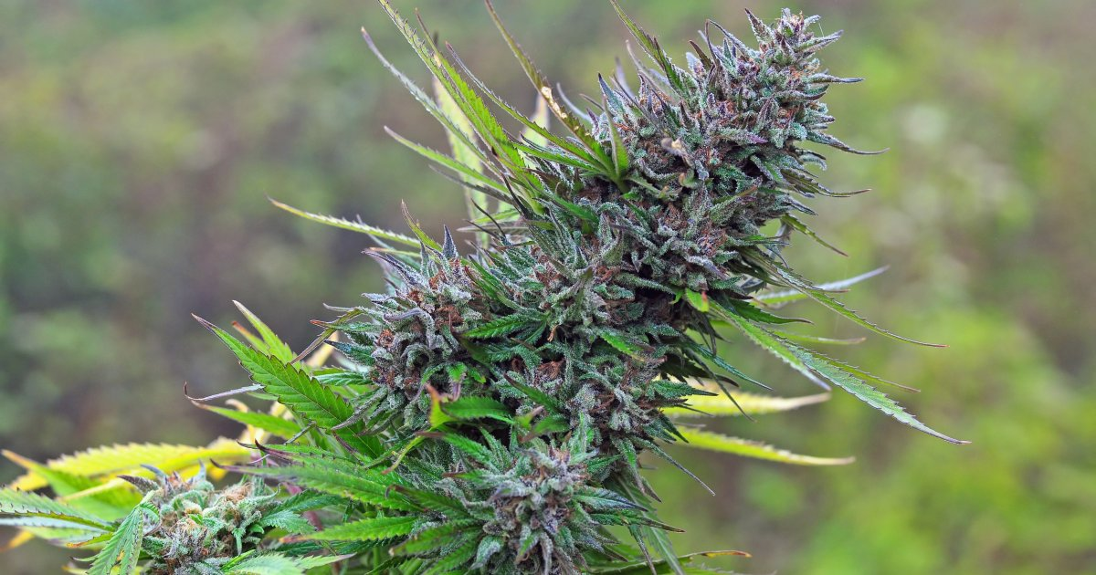 hunting exotic strains of cannabis happens in modern grow